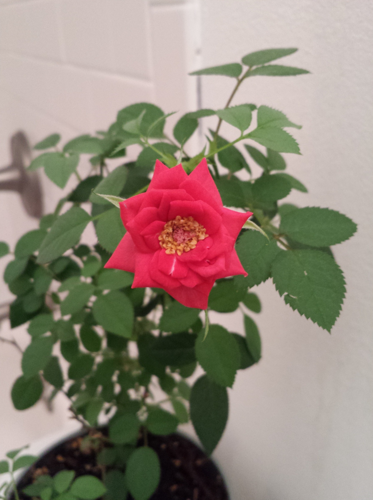 First Day of Spring Rose